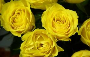 Роза №467