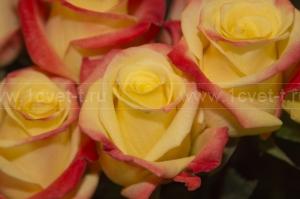 Роза №476