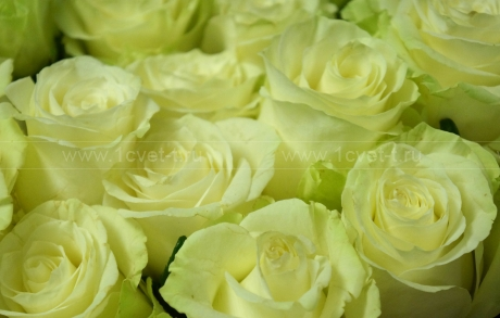 Роза белая №479