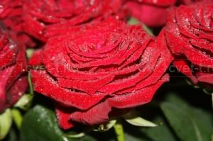 Роза №198