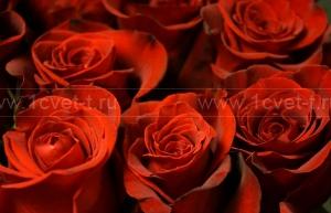 Роза №201