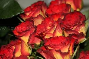 Роза №204
