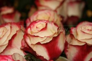 Роза №205