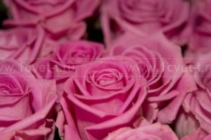 Роза №209