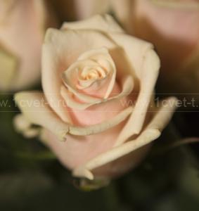Роза №210