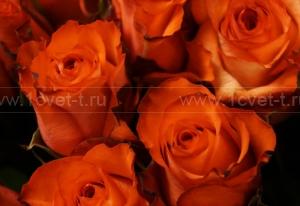 Роза №215